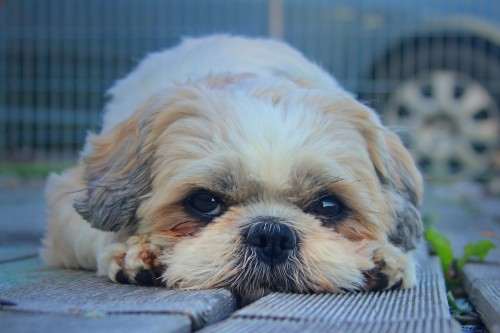 Your Dog Ate an Onion – What to Do Next!