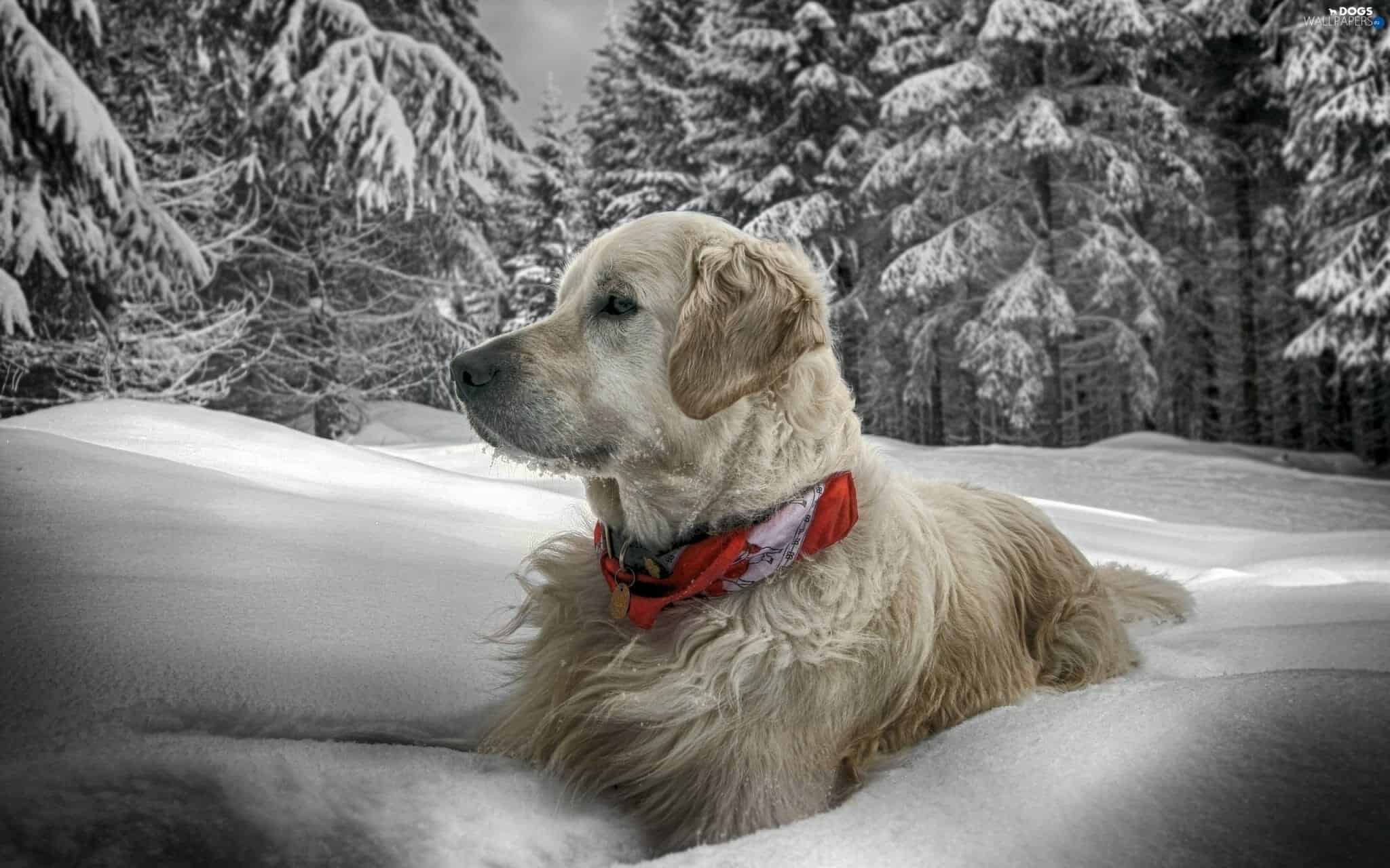 collar-many-dog-golden-dog-winter-snow-retriever
